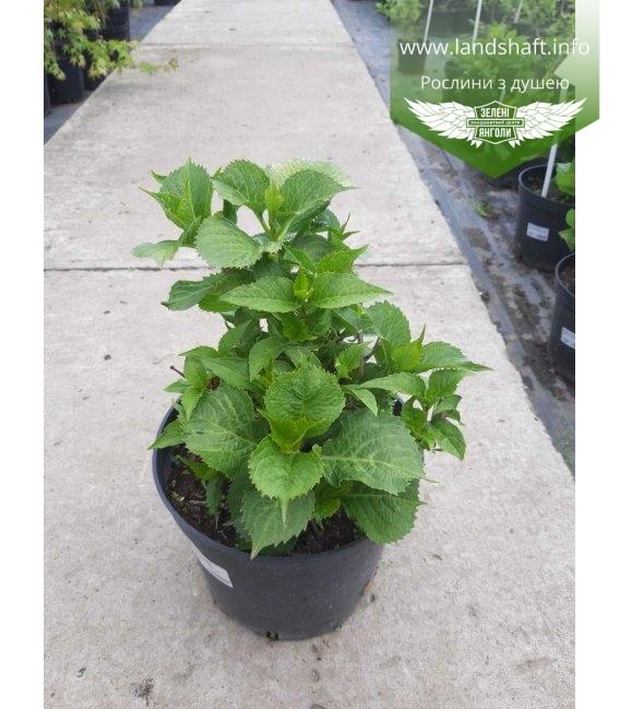 Hydrangea macrophylla 'Leuchtfeuer' Гортензия крупнолистная в с5