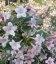 Weigela florida 'Suzanne', Вейгела цветущая 'Сюзан'