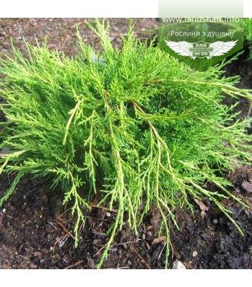 Juniperus x media 'Mordigan Gold', Можжевельник средний 'Мордиган Голд'