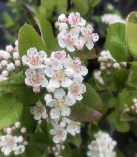 Аронія цвіте