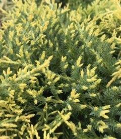 Juniperus x pfitzeriana 'Golden Saucer' Можжевельник Пфитцера