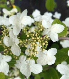 Viburnum plicatum 'Mariesii', Калина складчатая 'Мариези'