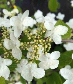 Viburnum plicatum 'Mariesii', Калина складчаста 'Маріезі'