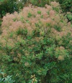 Cotinus coggygria, Скумпія звичайна