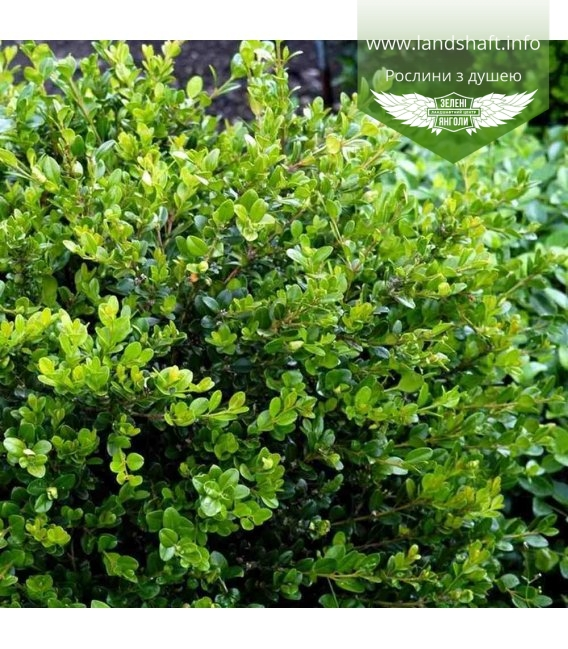 Buxus microphylla 'Faulkner', Самшит мелколистный 'Фолкнер'