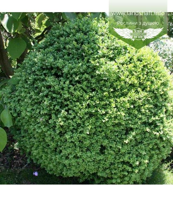 Buxus sempervirens 'Suffruticosa', Самшит вечнозеленый 'Суффрутикоса'
