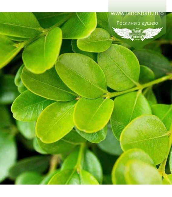 Buxus sempervirens 'Suffruticosa', Самшит вічнозелений 'Суфрутікоза'