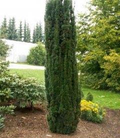 Taxus, Тис колоновидный