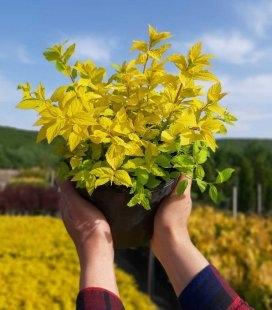Spiraea japonica 'Goldmound', Спирея японская 'Голдмаунд'
