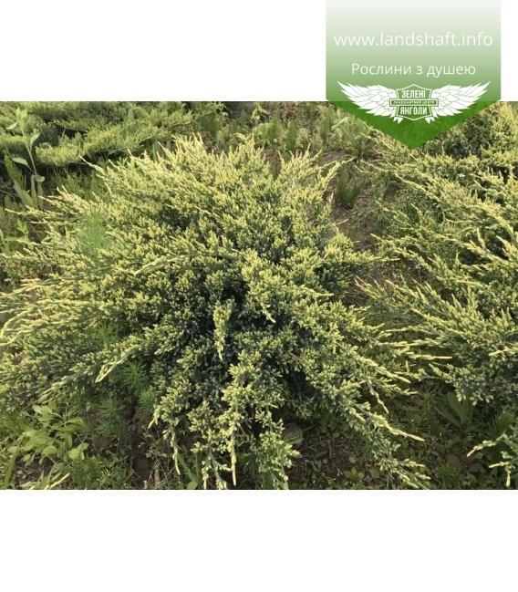 Juniperus squamata 'Holger' Можжевельник чешуйчатый