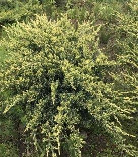 Juniperus squamata 'Holger', Ялівець лускатий 'Холгер'