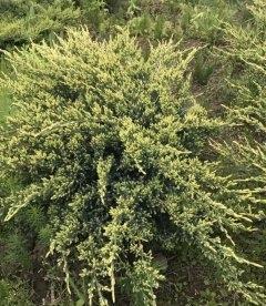 Juniperus squamata 'Holger', Можжевельник чешуйчатый 'Холгер'