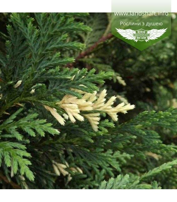 Chamaecyparis nootkatensis 'Aureovariegata', Кипарисовик нутканский 'Ауреовариегата'