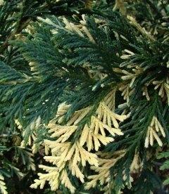 Chamaecyparis nootkatensis 'Aureovariegata', Кипарисовик нутканський 'Ауреоварієгата'