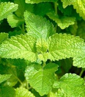 Mentha piperita 'Lemon Fresh', Мята перечная лимонная