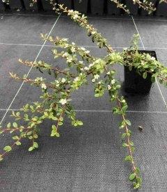 Cotoneaster horizontalis, Кизильник горизонтальний
