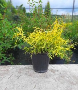 Chamaecyparis pisifera 'Filifera Aurea Nana', Кипарисовик горохоплодный 'Филифера Ауреа Нана'
