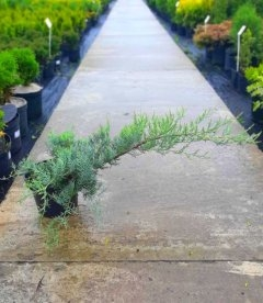 Juniperus virginiana 'Grey Owl', Ялівець віргінський 'Грей Овл'