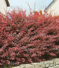 Berberis thunbergii 'Pink Queen' Барбарис Тунберга 'Пинк квин'