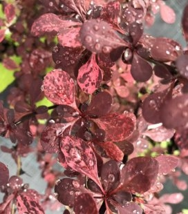 Berberis thunbergii 'Pink Queen', Барбарис Тунберга 'Пінк Квін'