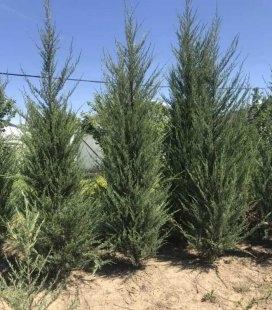 Juniperus scopulorum 'Skyrocket', Можжевельник скальный 'Скайрокет'