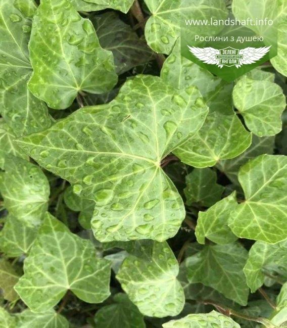 Плющ 'Гіберніка' серцевиднох форми лист, вічнозелений