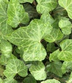 Плющ 'Гиберника' сердцевидной формы лист, вечнозеленый