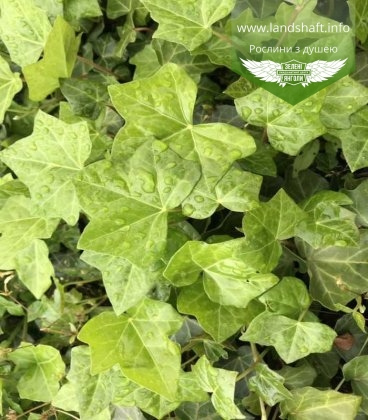 Плющ обыкновенный Гиберника вечнозеленый для изгороди