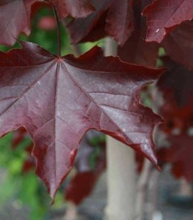 Acer platanoides 'Royal Red', Клен остролистный 'Роял Ред'