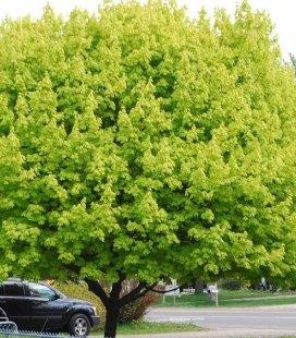 Acer platanoides 'Princeton Gold', Клен остролистный 'Принстон Голд'