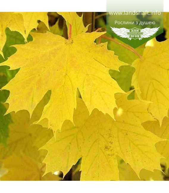 Acer platanoides 'Princeton Gold', Клен гостролистий 'Прінстон Голд'
