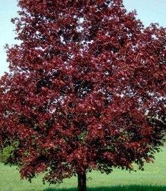 Acer platanoides 'Royal Red', Клен гостролистий 'Роял Ред'
