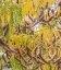 Gleditsia triacanthos 'Sunburst', Гледичия обычная 'Санберст'