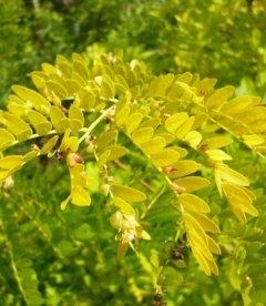 Gleditsia triacanthos 'Sunburst', Гледичія звичайна 'Санберст'
