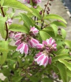 Дейция шершавая Кодсал Пінк с розовым соцветием