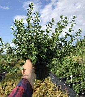 Бересклет 'Радиканс' вечнозеленый куст