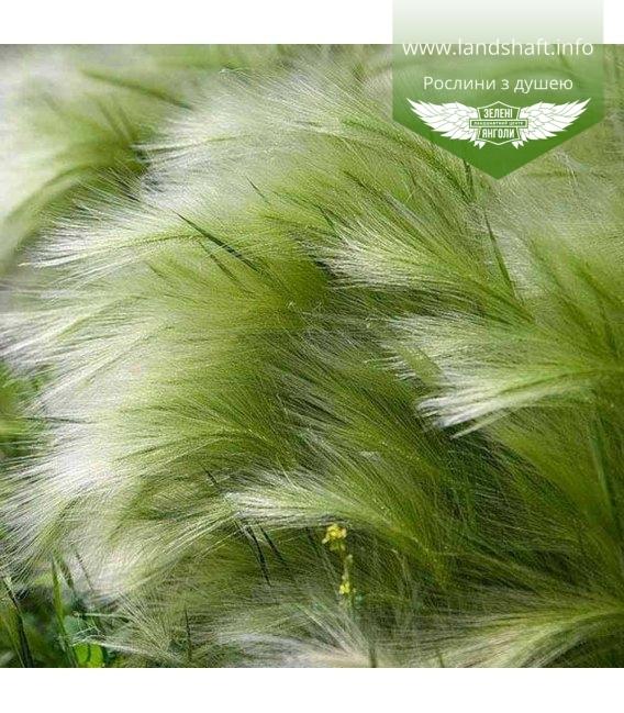 Stipa tenuissima 'Pony Tails', Ковыль тончайший 'Пони Тейлз'