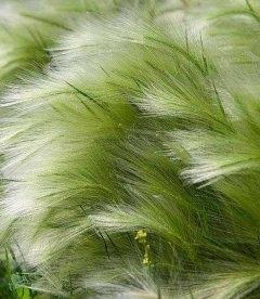 Stipa tenuissima 'Pony Tails', Ковила найтонша 'Поні Тейлз'