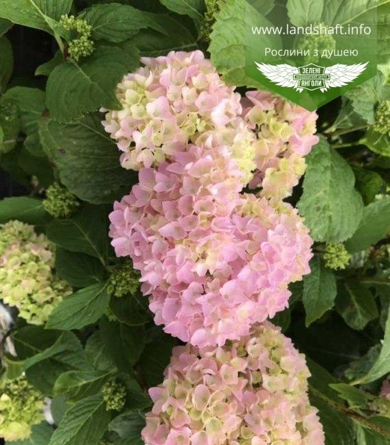 Гортензия крупнолистная макрофила розовая
