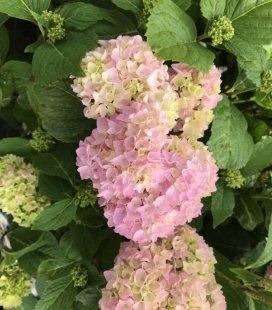 Hydrangea macrophyla mix, Гортензия крупнолистная в ассортименте