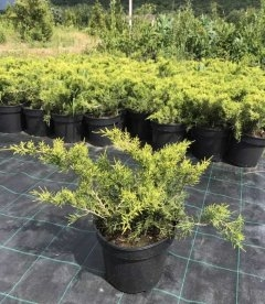 Juniperus conferta 'All Gold', Можжевельник прибрежный 'Олл Голд'