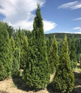 Thuja occidentalis 'Smaragd', Туя западная 'Смарагд'