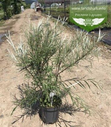 Ива (Salix ) розмаринолистная в С2