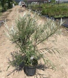 Верба (Salix ) розмаринолиста в С2