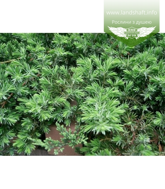 Juniperus conferta 'Blue Pacific', Ялівець прибережний 'Блу Пасіфік'