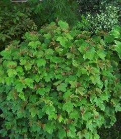 Viburnum opulus 'Nanum', Калина звичайна 'Нанум'