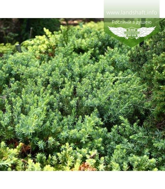 Juniperus conferta 'Blue Pacific' Можжевельник прибрежный