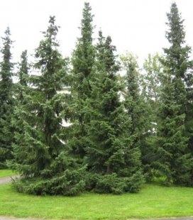 Ель сербская ландшафтное озеленение