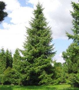 Picea omorika, Ель сербская
