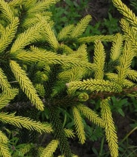 Picea orientalis 'Aureospicata', Ель восточная 'Ауреоспиката'